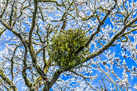 symbiotic: mistletoe is a hemiparasite on several species of trees Stock Photo