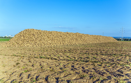 stapled: acres with sugar beets after harvest in golden light and beautiful landscape