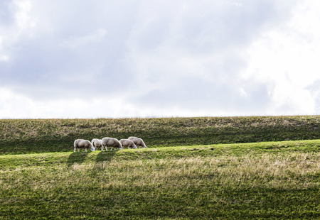 dyke: sheeps grazing at the dyke in the Netherlands