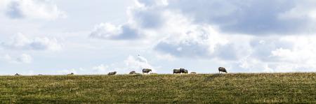 tortillera: ovejas pastando en el dique en los Pa�ses Bajos