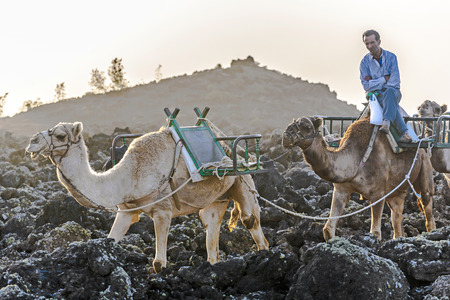 saddle camel: UGA, SPAIN - DEC 28, 2010: caravan of camels in sunset returning home in the stable at Timanfaya national park in Uga, Spain. The working hours for camels are strictly regulated by the union in Lanzarote.