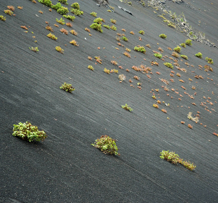 timanfaya: plants are growing on the lava hill of an old volcano in Timanfaya national park