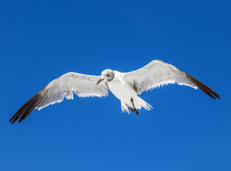 myers: seagull on blue sky background  at the ocean Stock Photo