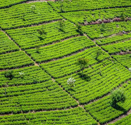 agriculture sri lanka: green tea plantation in Sri Lanka near Nuwara Eliya Stock Photo