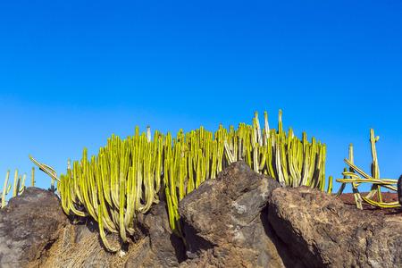 playa blanca: Green cactus plants on coastal promenade along ocean in Playa Blanca, Lanzarote, Canary Islands, Spain Stock Photo