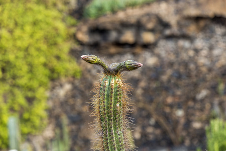bud of cactus in detail with water drop photo
