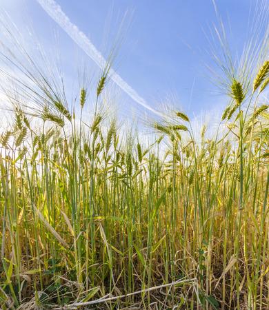 spica: espiga de trigo en campo de ma�z en detalle Foto de archivo