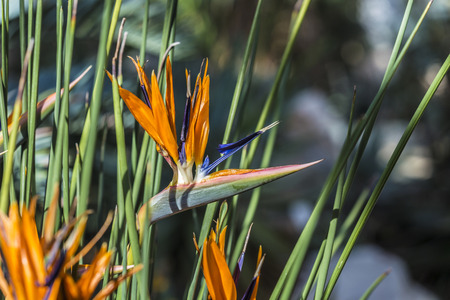 regina: beautiful Bird of Paradise flower, strelitziaceae in detail Stock Photo