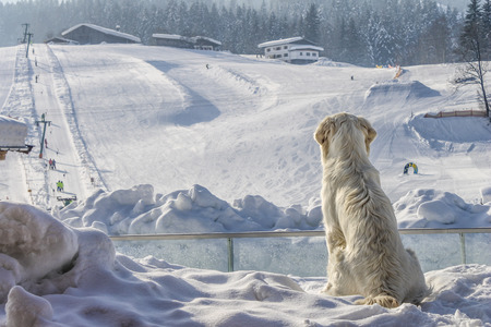 skying: dogs enjoy looking at the white sky slope