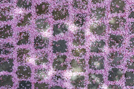 cobble: pink blossom of a tree gives a harmonic pattern on old cobble stone street
