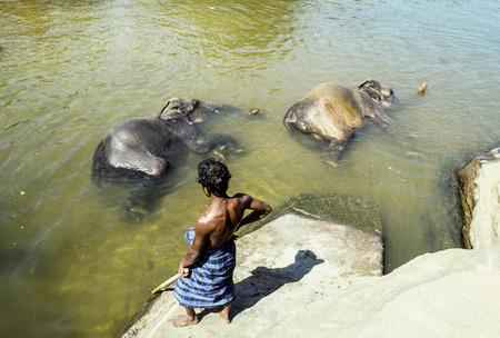 PINNAWELA, SRI LANKA - MAY 14, 1998: mahout with his ephants in park Pinnawela, Sri Lanka. They take car for hurt animals.