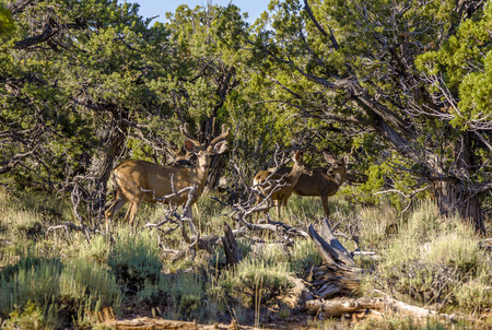 national forests: deers in morning light in the forests of the Grand Canyon national Park Stock Photo