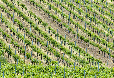 biological vineyard: vineyards in spring gives a harmonic structure