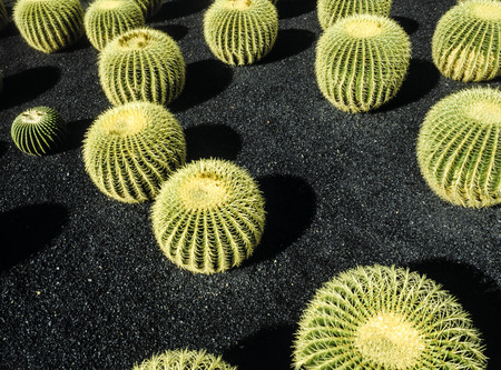 manrique: Lanzarote, Canary Islands. Cactuses growing in a cactus park designed by the artist Cesar Manrique. Latin name: Echinocactus Grusonii. Originates from: East-central Mexico