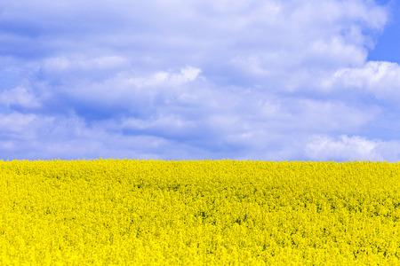 oilseed: Canola,Oilseed Rape,Biodiesel Crop