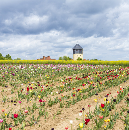 water tower: Spring field with blooming colorful tulips and water tower