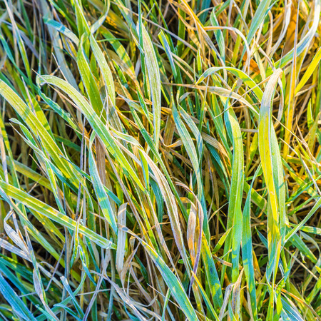 late fall: Closeup image of green frozen grass in the late fall