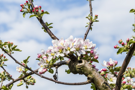 tender: apple branches with white flowers, tender blossom