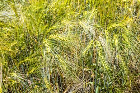 vulgare: Barley ears gives a harmonic pattern - Hordeum vulgare