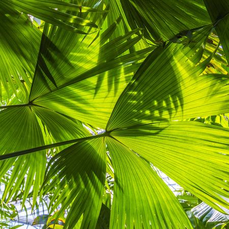 frescura: hojas de palma hermosas del árbol en la luz del sol Foto de archivo