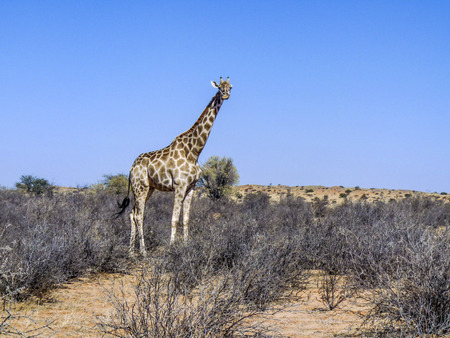 kgalagadi: giraffe in Kgalagadi Transfrontier Park looks for eating in the trees Stock Photo