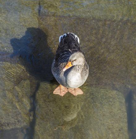 river main: young duck walking at river Main in Frankfurt Stock Photo
