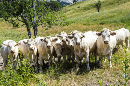 alp: cows in the french alps graze at the meadow Stock Photo