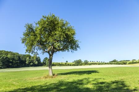 arbol de manzanas: apple tree in rural landscape under blue sky