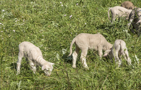 suggesting: Flock of sheep on a green pasture suggesting organic grown farm animals with sun light Stock Photo