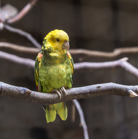 green winged macaw: parakeet sits on a branch of the tree in the sun Stock Photo