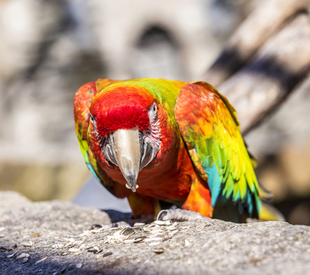 pecker: Macaw sitting perched on an old old stone