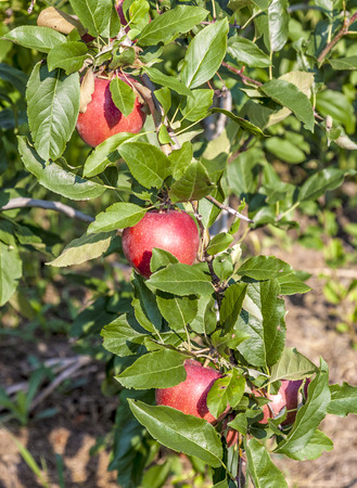 meran: Apple tree in Gargazo, Tyrol Italy