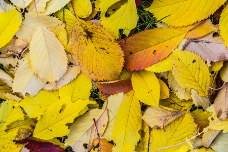 harmonic: yellow cherry tree leaves at the grass in harmonic autumn colors