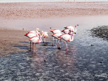 avaroa: Pink flamingos in wild nature of Bolivia, Eduardo Avaroa National Park, South America Stock Photo