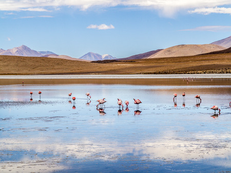 Pink flamingos in wild nature of Bolivia, Eduardo Avaroa National Park, South America Фото со стока