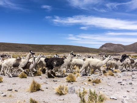 soft peak: herd of running llamas in the Andes under blue sky