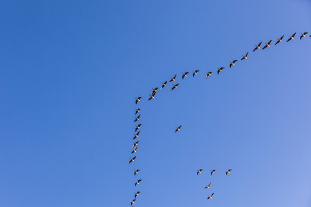 migrant: migrant bird in the blue sky