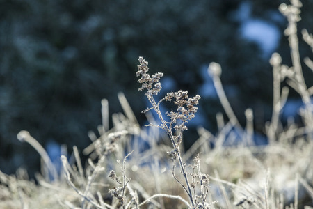 hoar: plant in detail with ice from hoar frost at leaves