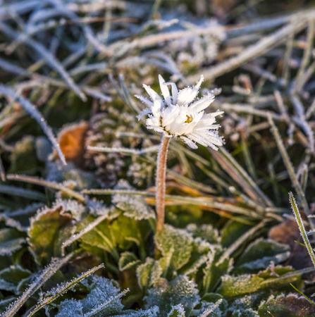 hoar frost: beautiful flower with hoar frost in the meadow