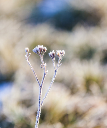 hoar frost: plant in detail with ice from hoar frost at leaves