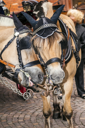 the coachman: head of stagecoach horses in detail with bridle