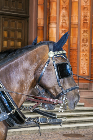 nostril: head of stagecoach horses in detail waiting in front of church