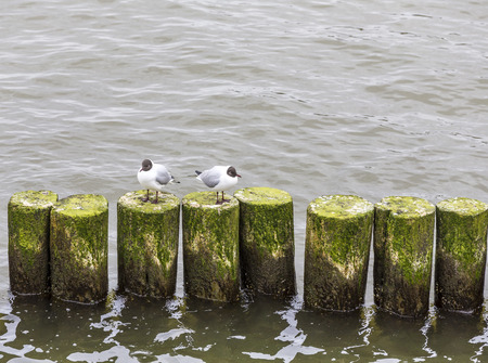 breakers: seagull at the coast sitting on wooden wave breakers at the baltic sea