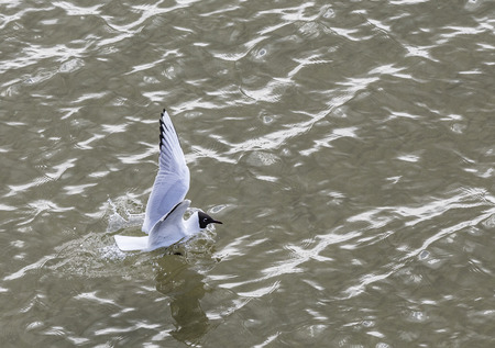 touch down: seagull at the coast flying and swimming in the baltic sea Stock Photo