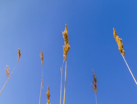 backwater: reed grass in backwater under blue sky