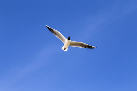 pecker: hungry seagull flies in the blue sky at the baltic sea