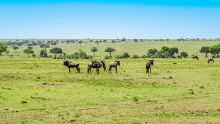 single line: gnus in single line grazing at the meadow Stock Photo