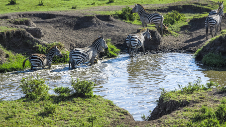 the water hole: zebras in Masai Mara national park look for a water hole to drink