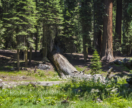 sequoia: tall and big sequoias in beautiful sequoia national park