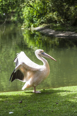 rosy: White Pelican (Pelecanus onocrotalus) also known as the Eastern White Pelican, Rosy Pelican or White Pelican is a bird in the pelican family